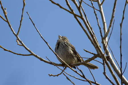 songbird: It is Spring and this song sparrow is singing to find a mate