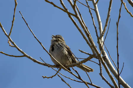 It is Spring and this song sparrow is singing to find a mate high in a tree with a blue sky background  Imagens