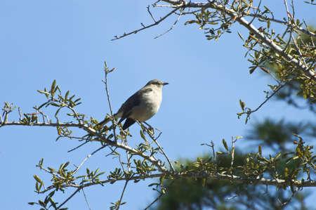 mockingbird: The northern mockingbird Stock Photo