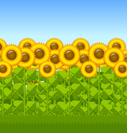 sunflower field: Sunflower field with grass in the foreground and blue sky in the background