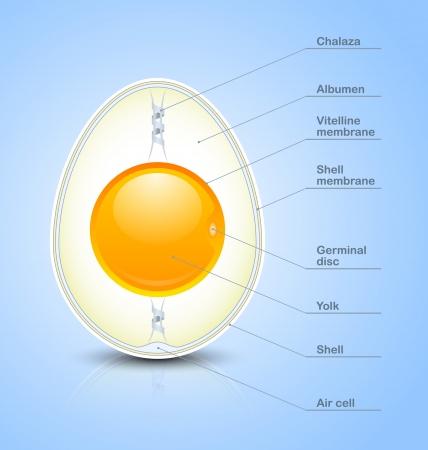 яичная скорлупа: Яйцо сечение значок с легендой, изолированные на голубом фоне Иллюстрация