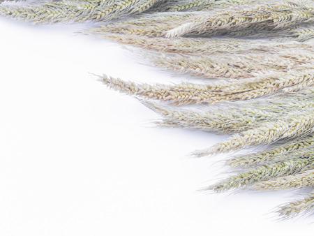 beardless: Wheat ears closeup isolated on white background