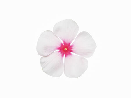 White periwinkle flower isolated