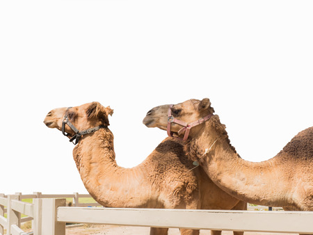 Close up two camels stand behind fence isolated on white background photo