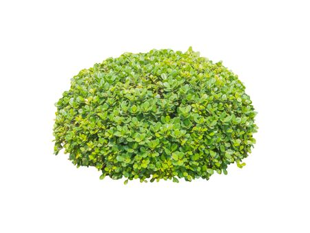 bush trimming: Round ornamental bush isolated on white background