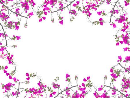 borde de flores: Marco rosado de la flor del Bougainvillea aislado en fondo blanco