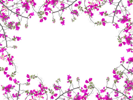 white flowers: Pink Bougainvillea flower frame isolated on white background