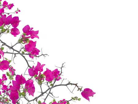 白い背景で隔離ピンクのブーゲンビリアの花フレーム