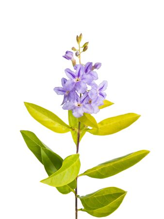small purple flower: Small purple flower with green leaves isolated on white background