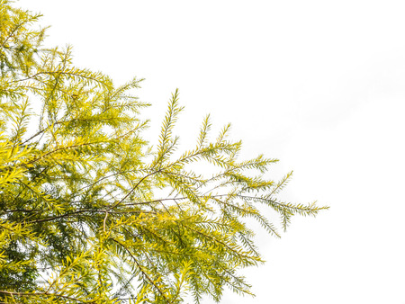 weeping willow: Green leaves, Weeping Willow tree, on white background