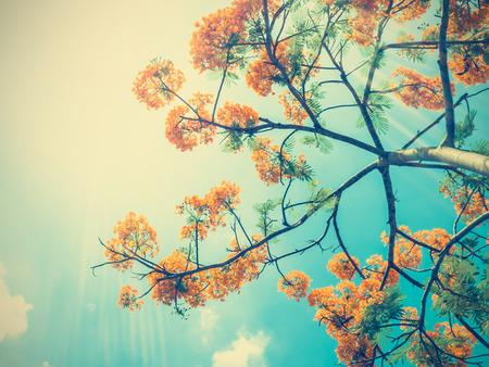 ビンテージ フィルター効果、日光と青い空にオレンジ色の孔雀の花を見上げる