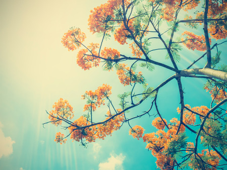 Look up to orange peacock flowers over blue sky with sunlight, vintage filter effect
