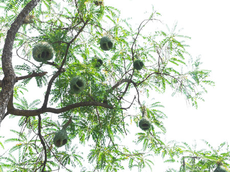 weaver bird: Look up to weaver bird nests at the branch of high tree Stock Photo