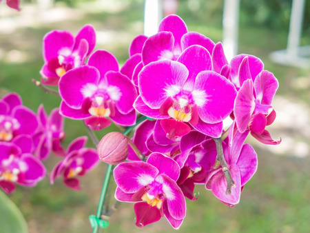 cattleya orchid: Bunch of flower pink cattleya orchid in nature Stock Photo
