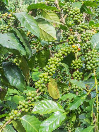 arbol de cafe: �rbol de caf� con granos de caf� en la ramificaci�n Foto de archivo