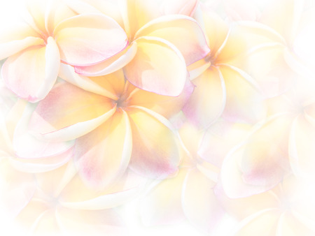 sweet color pink Plumeria or Frangipani flowers  with soft style for abstract background