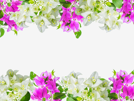 bougainvillea flowers: Bougainvillea flower frame ,isolated on white background Stock Photo