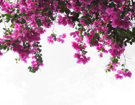 白地にピンクのブーゲンビリアの花