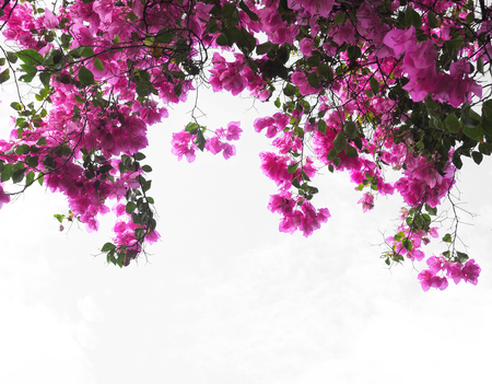 Pink Bougainvillea flower on white background