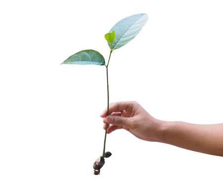 plant seed: Hand hold growing plant from seed isolated