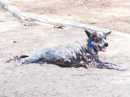 skin disease: Skin disease dog on summer sand beach
