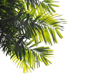 hamedoreya: close up palm leaves isolated on white background