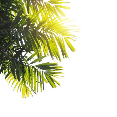 hamedoreya: close up palm leaves at sunset isolated on white background