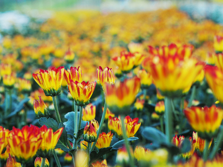 hotbed: Row of colorful Chrysanthemum flowers in a greenhouse Stock Photo