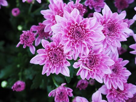 Close up purple chrysanthemum flower with water drop.