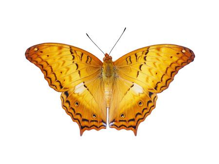 白い背景で隔離の翼を飛行を持つオレンジ色の蝶のトップ ビューをクローズ アップ 写真素材