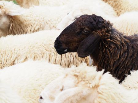 Close-up hoofd van zwart schaap in de kudde witte schapen