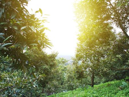 庭タイでドリアンの木。
