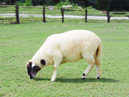 White sheep with black face grazing in green field