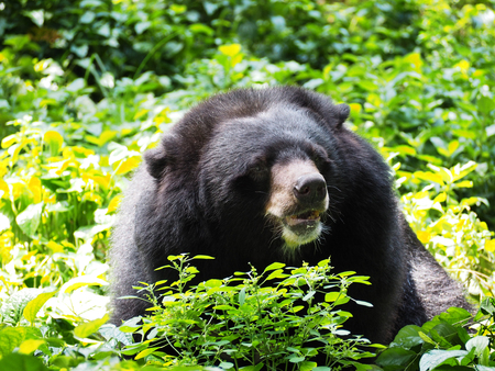Close up asiatic black bear with green nature background