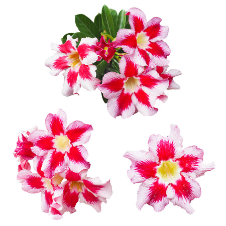 mock azalea: Red and pink Impala lily flowers isolated on white background