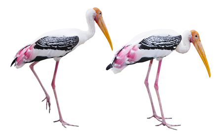 Paint storks large bird eat fish and live near the river or lake, isolated on white background. 写真素材 - 96069816