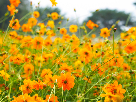 Close up orange cosmos flower in the spring field with copy space. Yellow Mexican aster meadow.