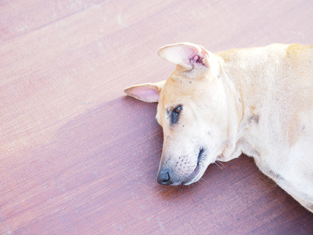 Close up head of brown dog with short hair laying down on brown floor at sunlight in the morning. Stock Photo