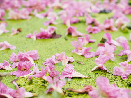 Close up pink trumpet flowers falling down on water surface with green small plant in the park. Natural background.