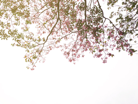 Look up to pink trumpet flowers tree over white background for springtime  or summer.