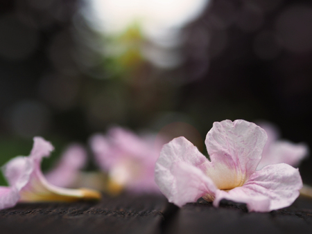 Close up pink trumpet flowers falling down on wooden bench in the park. Natural background.