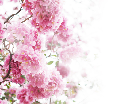 Floral backdrop of pink trumpet flowers over white color for springtime or summer. Background with copy space for valentines day.