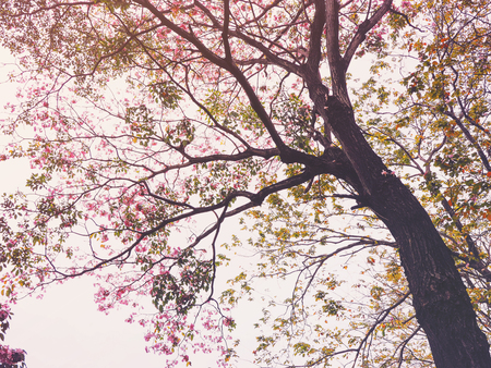 Look up to pink trumpet flowers tree over white background for springtime  or summer, vintage filter effect.