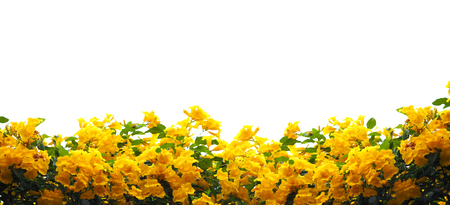 Close up Yellow elder or Trumpetbush flowers and green leaves isolated on white. Banner background with copy space.