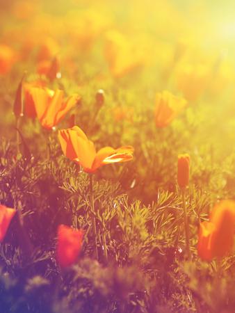 Close up wild orange poppy flowers field at sunset for springtime backgroud, vintage filter effect.