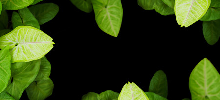 Close up arrowhead vine plant over black background. Tropical green leaves for natural textured.