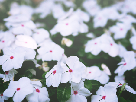 Close up Catharanthus roseus or Madagascar periwinkle flower blooming in the garden. 写真素材