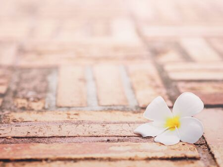 Close up white plumeria flower fall on brick footpath in the garden with copy space. Floral vintage background.