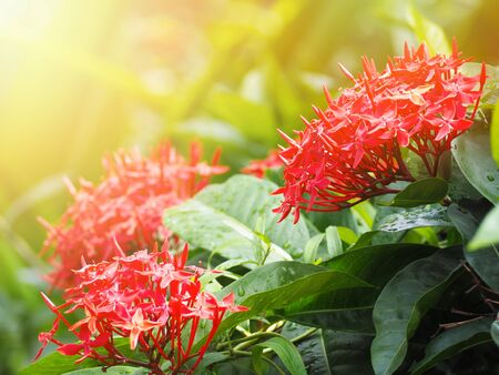 Close up red spike flower (Ixora chinensis) with green leaves in the garden. Stock Photo