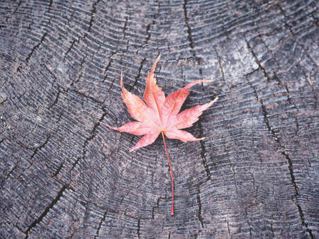 Close up dry red maple leaf falling on black wood. Autumn background.